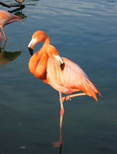 2 headed Flamingo