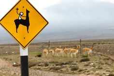 Elyx at the Pampa Galeras reservation for vicunas, llamas and other Andean camelids! (Photo: PROMPERU/Renzo Tasso)