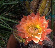 Echinopsis 'Oaxaca'