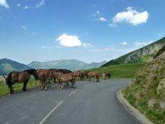 Des chevaux sur la route
