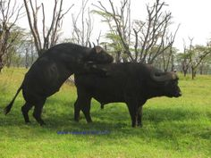 Buffaloes mating.During mating period,a bull will closely guard a cow that comes into heat while keeping other bulls at bay.