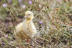 Fluffy chicks of  European goose on a field with a little flowers