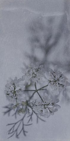 "Flowers in Neutral Moment-2015 "" Coriander "" Archival pigment print Printed on cotton rag fine art paper Photo by Soichi Oshika"