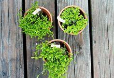gardening tips (herbs)