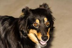 Shawna is an adoptable Australian Shepherd Dog in Union, MO. For more information on this dog or any of our adoptable pets, please call the shelter at 636-583-4300 or stop by! Hours: Mon.11 -6:00 ,Wed...
