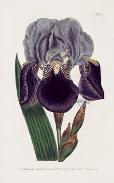 German flag iris from William Curtis' botanical magazine, published between 1787 and 1817