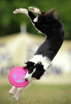 A border collie catches a frisbee during the Skyhoundz Disc Dog European Championship competition in Budapest, Hungary. I miss my border collie. I Love Dogs, Cute Dogs, Photo Animaliere, Animal Tracks, Collie Dog, Tier Fotos, Border Collies, Mans Best Friend, Dog Pictures