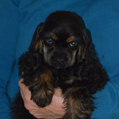 Black Cocker Spaniel, American Cocker Spaniel, Cocker Spaniel Puppies, English Cocker Spaniel, Clumber Spaniel, Beautiful Dog Breeds, Beautiful Dogs, I Love Dogs, Cute Dogs