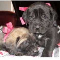 Puppies! I will have a faun and brindle bull mastiff one day :)