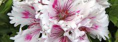Gerani: moltiplicarli per talea  Presenti da nord a sud nei vasi di ogni davanzale, i gerani (genere Pelargonium) sono tra i fiori più apprezzati dell'estate perché belli e facili da mantenere. Giugno è il momento di preparare le talee che saranno pronte per fiorire l'anno prossimo. http://www.cosedicasa.com/gerani-moltiplicarli-per-talea-49325/
