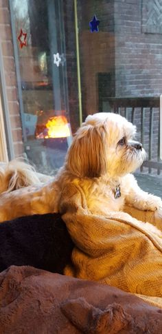 "Acquire fantastic suggestions on ""shih tzu dog"". They are readily available for you on our site. Shih Tzu Puppy, Shih Tzus, Animals And Pets, Cute Animals, Pet Corner, Cute Dog Photos, Chihuahua Love, Lhasa Apso, Dog Boarding"