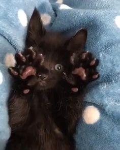 said no more tummy tickles! I said no more tummy tickles!I said no more tummy tickles! Funny Cute Cats, Cute Funny Animals, Cute Baby Animals, Animals And Pets, Kittens And Puppies, Cute Cats And Kittens, Kittens Cutest, Black Kittens, Cute Black Cats