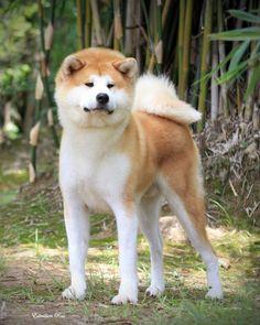 Akita Inu...Gorgeous!