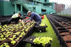 Wicked cool. Boston's Fenway park is now home to an urban farm.