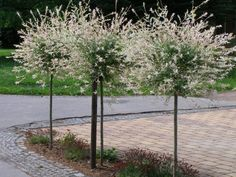 Stromy na kmínku: Salix integra 'Hakuro Nishiki' - japonská vrba celolistá