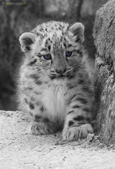 20 baby animals that are so cute it's ridiculous! - Henny Rebig - 20 baby animals that are so cute it's ridiculous! 20 baby animals that are so cute it's ridiculous! – Whole Lifestyle - Baby Snow Leopard, Leopard Cub, Big Cats, Cats And Kittens, Cute Cats, Beautiful Cats, Animals Beautiful, Pet Clinic, Animal Clinic