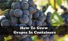Growing grapes outdoors is becoming increasingly popular, particularly those varieties being grown for wine. The key to success is a combination of selecting the correct site and thorough soil preparation, combined with attention to watering, feeding and dealing with problems if they arise.