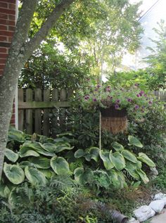 Hosta, ferns and languishing petuna