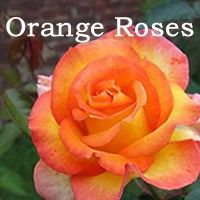 Rose color meanings on pinterest flower meanings for The meaning of orange roses