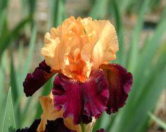 BRILLIANT DISGUISE (Johnson 2008) Apricot-orange standards, velvety dark maroon falls; fiery orange beards - Bearded Iris