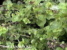Oregano doet het vooral goed op een zonnige standplaats. De grond moet voedzaam zijn en eerder aan de kalkrijke kant