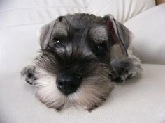 MINIATURE SCHNAUZER  Their little faces just kill me they're so cute  You know you want one @Abbey Adique-Alarcon Wiltbank