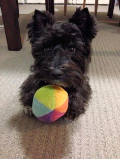 One word, or actually two: Cutie Patootie! I Love Dogs, Cute Dogs, Cairn Terrier, Scottish Terriers, Animals And Pets, Cute Animals, Dogs And Puppies, Doggies, Little Dogs