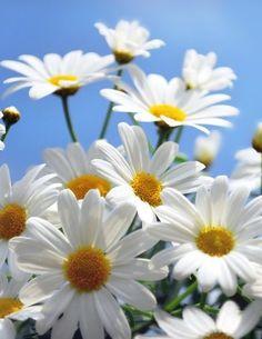 Белые ромашки на фоне голубого неба
