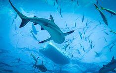 Ocean Shark Diving under sea animal living room home wall art decor wood frame fabric poster Animals Amazing, Animals Beautiful, Beautiful Images, Shark Diving, Sharks, Hd Wallpapers 3d, Deep Blue Sea, Wallpaper Pc, Shark Week