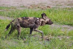 African wild dog or Painted dog in Botswana.  koenfrantzen.com