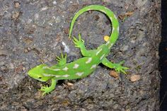 Image result for green gecko nz pictures Reptiles, Geckos, Green, Pictures, Animals, Image, Photos, Animales, Animaux