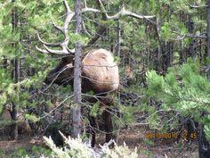 Bull Elk. 2010 Rut. Madison Junction, Yellowstone National Park