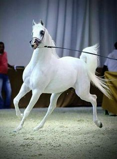 Gorgeous prancing high spirited Arabian horse. Please also visit www.JustForYouPropheticArt.com for colorful, inspirational art and stories and like my Facebook Art Page at www.facebook.com/Propheticartjustforyou Thank you so much! Blessings!