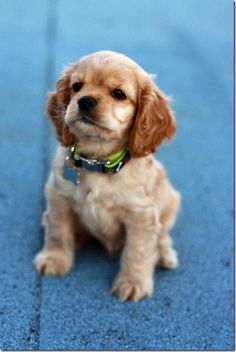 Cocker Spaniel puppy.