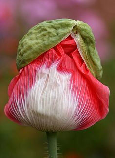 I love watching poppies as they 'hatch' before your eyes!   Papaver 'Queen's Poppy' by anniesannuals, via Flickr
