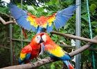 TicoTimes.net Macaws