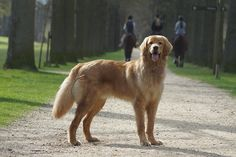 """Hovawart puppy """"Boef"""" aka """"Bono van de Gouwestreek"""" at his most impressive almost one year old"""