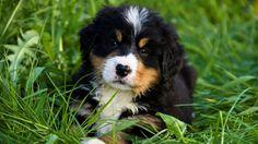 Webshots - Berner Sennenhund Puppy