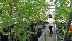 AS Tomatoes to combat cancer increasing their vitamin C content with a strawberry gene - ✅WATCH VIDEO👉 http://alternativecancer.solutions/as-tomatoes-to-combat-cancer-increasing-their-vitamin-c-content-with-a-strawberry-gene/   	  More videos at Researchers at the University of Málaga and the Andalusian Institute for Agricultural Research and Fisheries (IFAPA) have increased the vitamin C content of tomatoes by 15% thanks to a strawberry gene, also increasing its antio