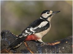 Male Great spotted Woodpecker(Dendrocopos major) photographed by Don Wilks in Kent, U.K. on 30th December 2014