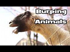 Funny Burping Animals Video - YouTube