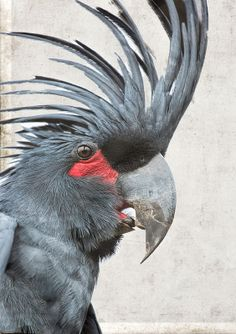 The Palm Cockatoo has a featherless patch of red skin under its eyes. When the bird is excited, the spot flushes from dark pink to orange-red to scarlet.