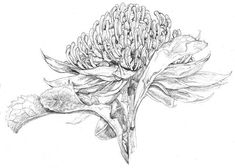 Why not drop by and say hello? Class is now in @ Linocut and Art Tutorials Engraving Illustration, Illustration Artists, Botanical Drawings, Botanical Art, Linocut Artists, Wildflower Drawing, Australian Wildflowers, Graphite Art, You Draw