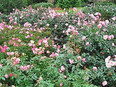 Spacing massed shrub roses