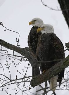 Eagles love the Mississippi River during the winter. Be sure to check out the Alcoa Eaglecam!