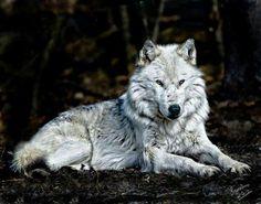 Lobo viejo