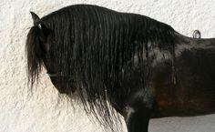 Andalusian Stallion by fraziu