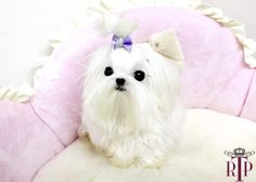 micro t cup maltese korean genes Maltese Puppies For Sale, Maltese Dogs, Dogs And Puppies, Really Cute Puppies, I Love Dogs, Cute Dogs, Teacup Maltese, Teacup Puppies, Animals And Pets