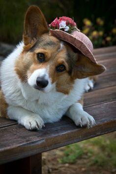 Le chien au chapeaux