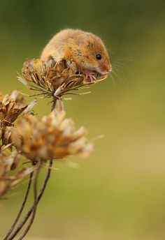 Harvest Mouse...I cannot suppress this squee.